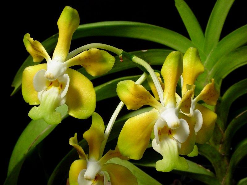 http://www.premdesign.com/orchidpics/vanda_denisoniana.jpg